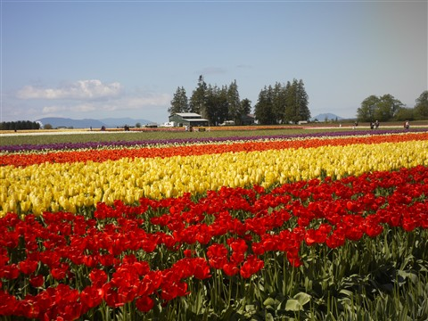 Field of tulip
