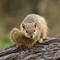 Tree Squirrel #1