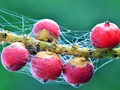 Fruits with Web