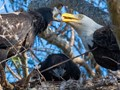 Momma Bald Eagle with two eaglets.