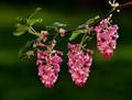Flowering Currant 1100pix