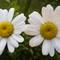 pair of flowers