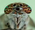 Horsefly Face