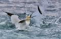 Northern gannet fishing