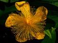 St Johns Wart Flower
