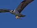Osprey bringing back food to the nest