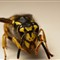 Camera Shy European Wasp