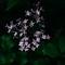 Leica X Vario - Korean Dwarf Lilac-1041112
