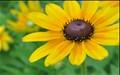 yellow floret