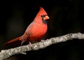 Northern Cardinal (Illinois, Indiana, Kentucky, North Carolina, Ohio, Virginia, West Virginia)