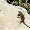 Lizard on Rock Grand Canyon 2010