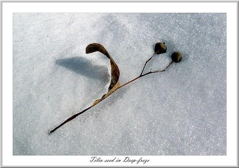 Tilia seed