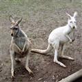 Adelaide Kangaroos