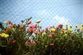 Summer Blooming