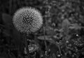 Dandelion in Monochrome