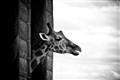 Giraffe Peekaboo