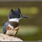 Belted Kingfisher at Sidecut 2