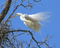 Great White Egret With Flowing Feathers