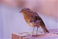 Juvenile Robin-Early one Morning