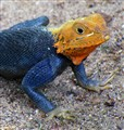 Orange Headed Male Agama Lizard