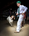 Kids raise the animals themselves and they are judged at the fair