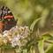 papillon feuillages  1600