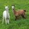 Alpaca twinsLR4 edit-0602