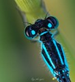 Damselfly. I love that glowing color!