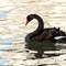 Black swan_168A1499
