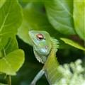 Chameleon_Sri Lanka