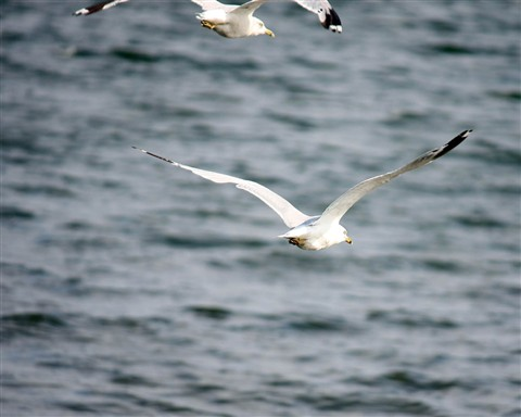 SeagullFlying1280_IMG_2275