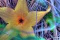 Lanikai Flower