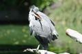 a wild grey heron in the Zoo Duisburg