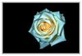 White Rose (tint of Orange)