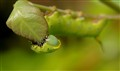 Hummingbird Moth Caterpillar