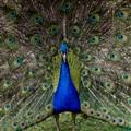 Peacock_MG_4810