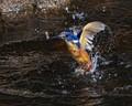 Azure Kingfisher fishing