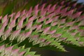 Melianthus Major leaves