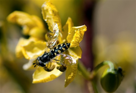 Hoverfly, or syrphid fly (Syrphidae family) on flower