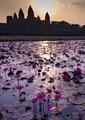Lotus Pond at Angkor Wat