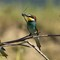 Bee-eater for the challenge