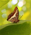 Butterfly Curved Leaf