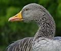 Handsom goose