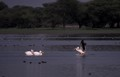 Flying Pelican at Thol bird sanctuary