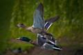 Fowl Flying
