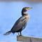 IMG_5107_cormorant-1