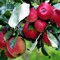 Sweden, Wermlandia, Apple Harvest