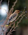 Untitled_waxwing