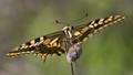 Maltese Swallowtail