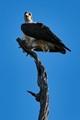 Australian white bellied sea eagle